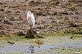 Garcilla Bueyera- Bubulcus ibis (6863423728).jpg