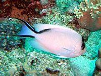 Genicanthus caudovittatus