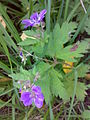 Geranium bohemicum 02.jpg