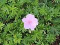 Geranium sanguineum var. Striatum.JPG