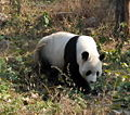 Giant Panda in Beijing Zoo 1.JPG