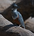 Giant kingfisher (6190116204).jpg