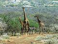 Giraffa giraffa subsp giraffa, Potlake-natuurreservaat, b.jpg