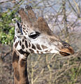 Giraffe 1d (5512621516).jpg
