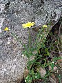 Glebionis segetum plant (04).jpg