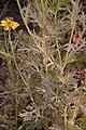 Glebionis segetum stem (09).jpg