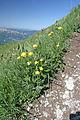 Globe-flower on La Tournette.JPG