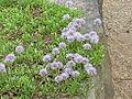 Globularia cordifolia4.jpg