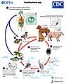 Gnathostoma LifeCycle lg.jpg