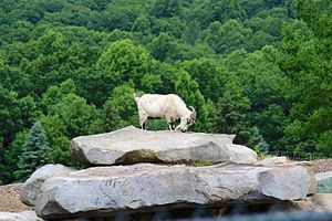 Mystic Rock - Image: Goat at Mystic Rock golf course (14477456566)