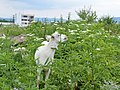 Goats eating dwarf elderberry in Botevgrad, Bulgaria 02.jpg