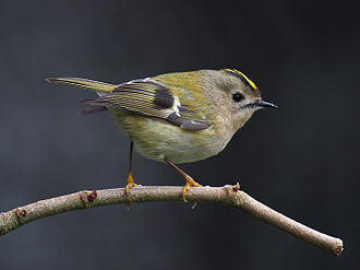 Tiny goldcrest (Regulus regulus) belongs to a minor but highly distinct lineage of Passeri Goldcrest 1.jpg