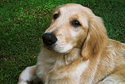 Golden Retriever com 3 meses de idade