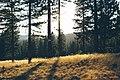 Golden grass and dark green trees (Unsplash).jpg