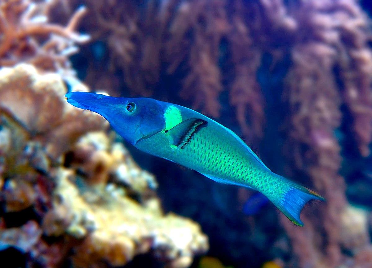 Vogel-Lippfische – Wikipedia