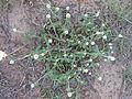 Gomphrena celosioides plant6 (14440083730).jpg