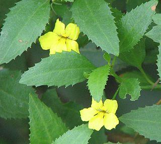 <i>Goodenia ovata</i> Species of plant