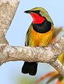 Gorgeous bushshrik, Chlorophoneus viridis, Vumba, Zimbabwe (21627694370).jpg