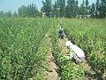 Grafting process (Uzbekistan).JPG