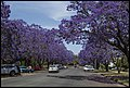 Grafton Street Jacaranda-08 (22809051752).jpg