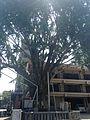 Grand ginkgo tree of Kushida Shrine from Hakata Street.jpg