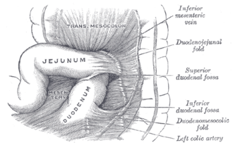 Duodenojejunal flexure - Superior and inferior duodenal fossæ.