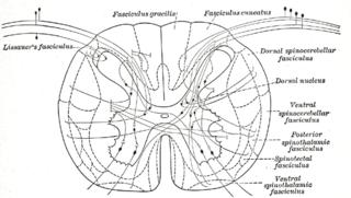 Posterior thoracic nucleus
