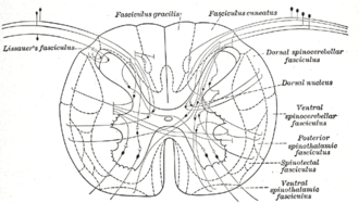 Posterolateral tract - Diagram showing a few of the connections of afferent (sensory) fibers of the posterior root with the efferent fibers from the ventral column and with the various long ascending fasciculi. (Lissauer's fasciculus visible in upper left.)