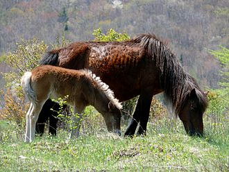 Grayson Highlands State Park - A mare and her foal on Wilburn Ridge.