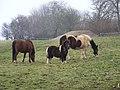 Grazing ponies near Fonthill Bishop - geograph.org.uk - 689663.jpg
