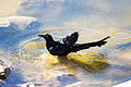 Great-Tailed Grackle (23570481205).jpg