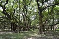 Great Banyan Tree - Indian Botanic Garden - Howrah 2012-09-20 0052.JPG