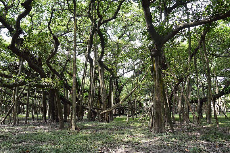 file great banyan tree indian botanic garden howrah 2012 09 20 0052 jpg