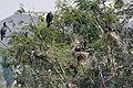 Great Cormorant (Phalacrocorax carbo) in Hyderabad, AP W IMG 5009.jpg