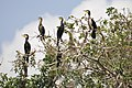 Great Cormorants on a tree (14331293495).jpg