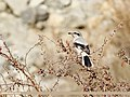 Great Grey Shrike (Lanius excubitor) (32705374268).jpg