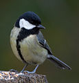 Great Tit 2c (6653986509).jpg