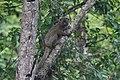 Greater Bamboo Lemur ( Prolemur simus), Sahavola, Madagascar.jpg