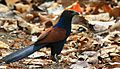 Greater Coucal 1.jpg