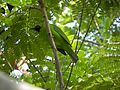 Greater Green Leafbird camouflage.jpg