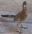 Greater Roadrunner Arizona.jpg