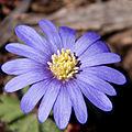 Greek anenome? Anemone blanda? (8626708414).jpg