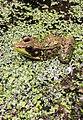 Green Frog in PA.jpg