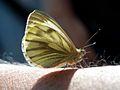 Green Veined White (Pieris napi) (7969164916).jpg