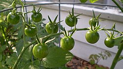 Green cherry tomatoes.JPG