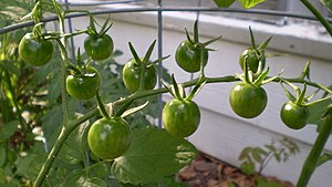 green cherry tomatoes Houston, Tx
