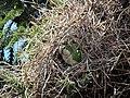 Green parrots at Parque por la Paz Villa Grimaldi - Santiago Chile - Peace Park (5277465041).jpg