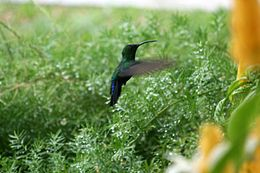 Green throated carib.jpg