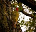 Green woodpecker (20709091710).jpg