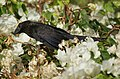 Grenada- Smooth-Billed Ani (4464431954).jpg